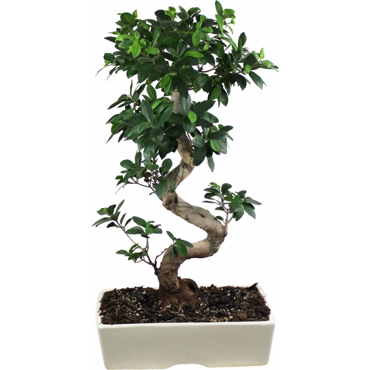 la fontaine fleurie bonsai ficus ginseng tokyo. Black Bedroom Furniture Sets. Home Design Ideas