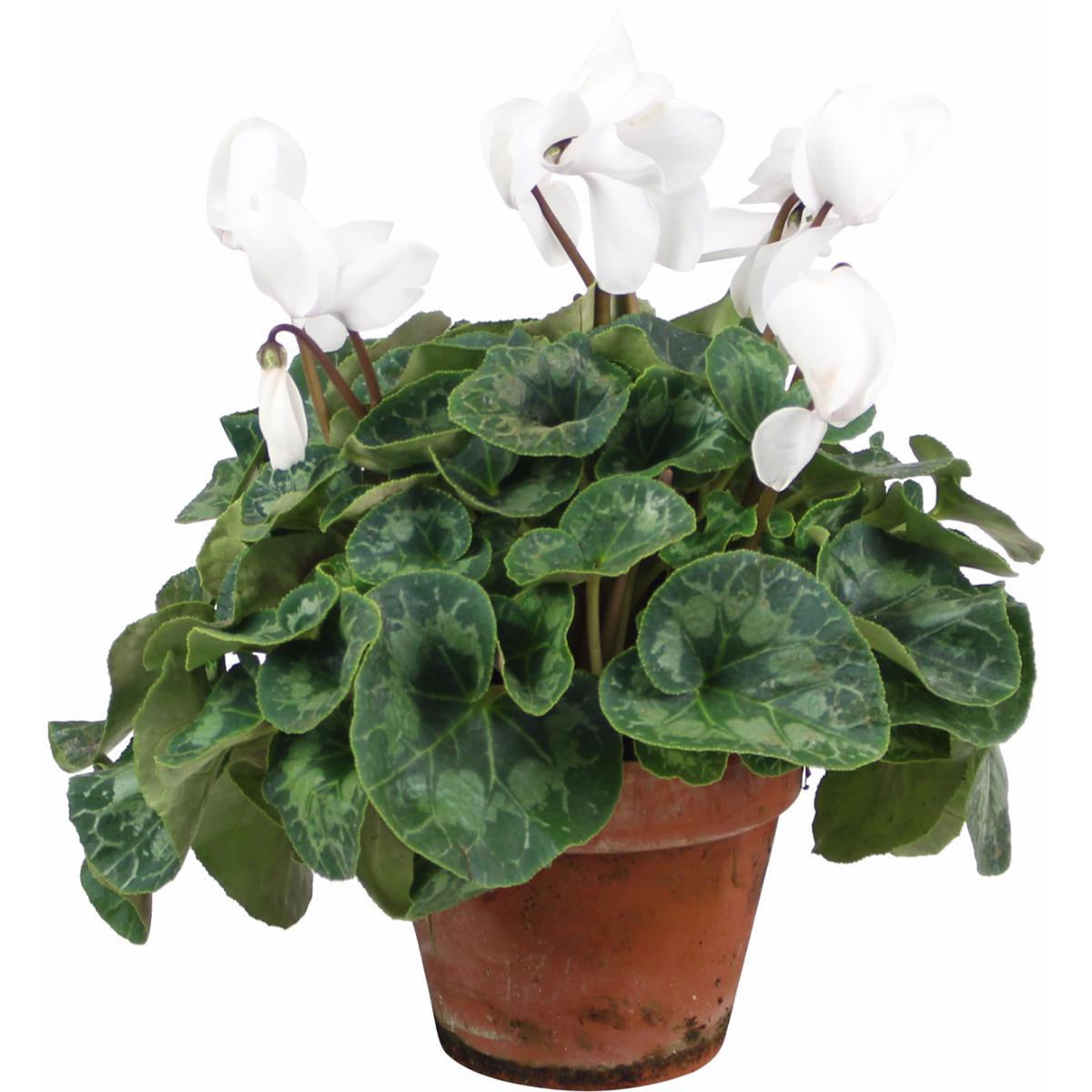 La fontaine fleurie livraison cyclamen compi gne oise - Arrosage cyclamen en pot ...