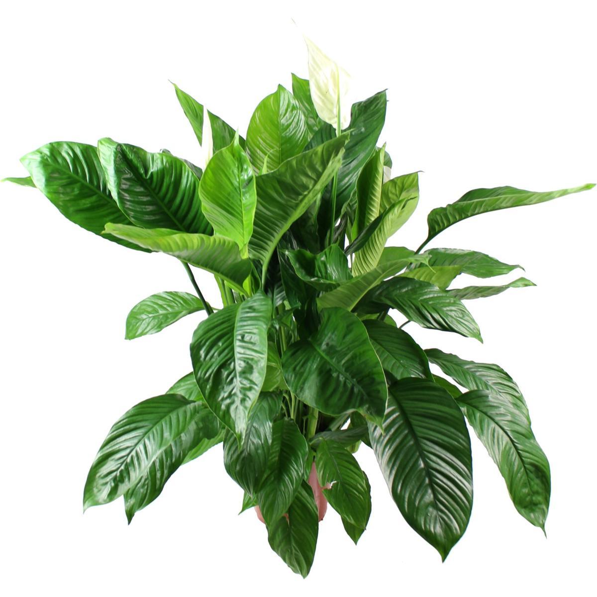 La fontaine fleurie plante verte spathiphyllum for La plante verte
