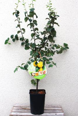 "ARBRE FRUITIER - Cognassier ""Coing champion"""