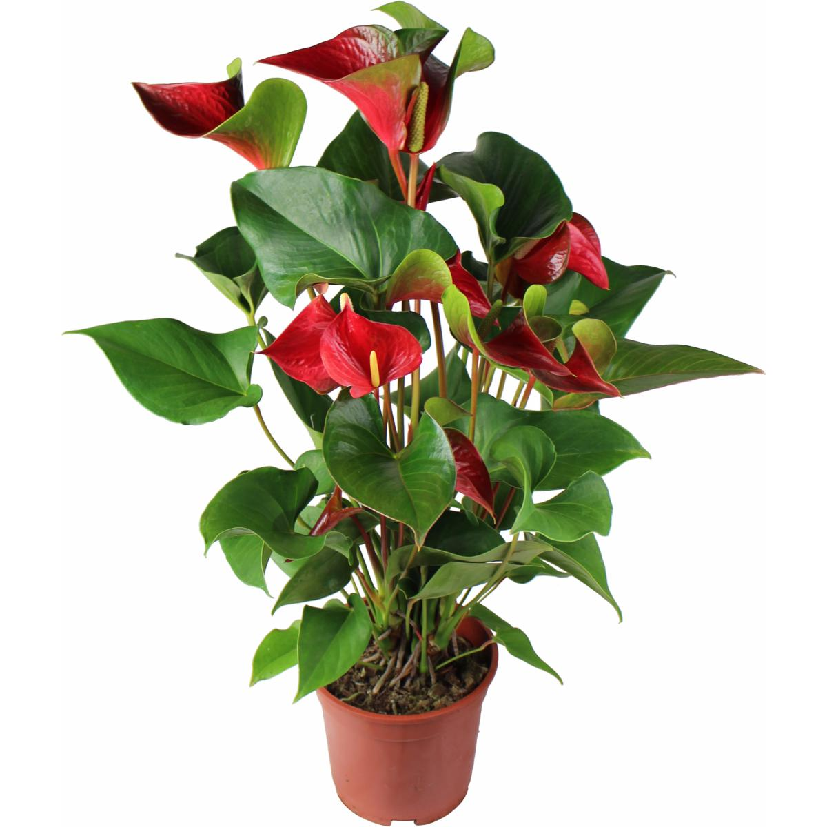 la fontaine fleurie plante anthurium en pot. Black Bedroom Furniture Sets. Home Design Ideas