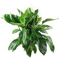 Plantes vertes d 39 int rieur la fontaine fleurie for Acheter une plante verte