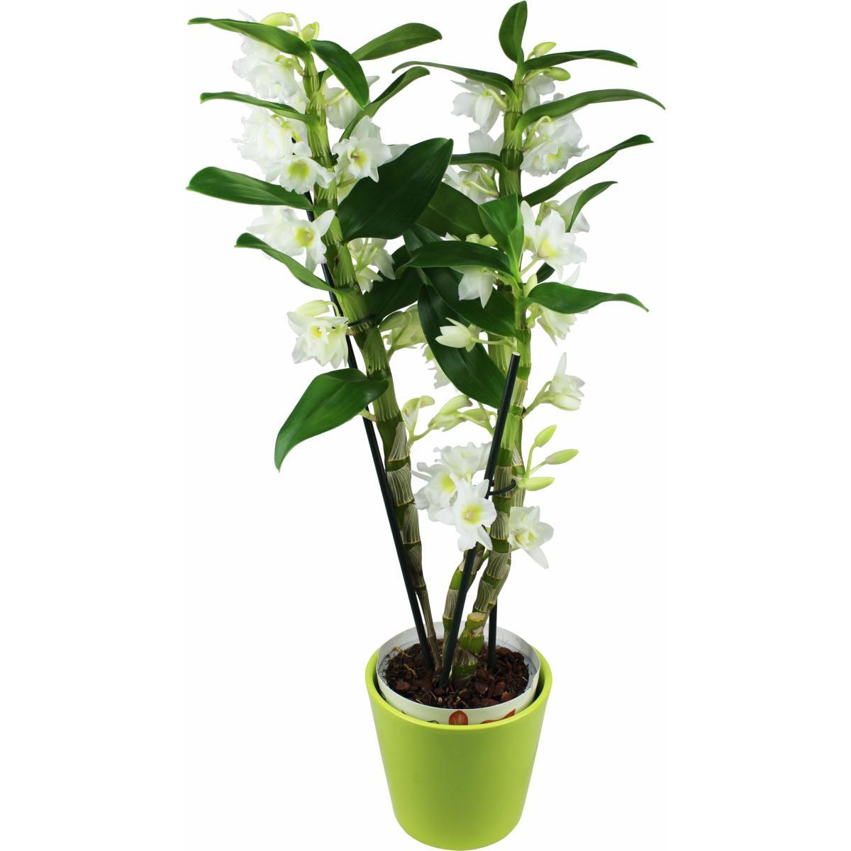 la fontaine fleurie orchid es dendrobrium blanche. Black Bedroom Furniture Sets. Home Design Ideas