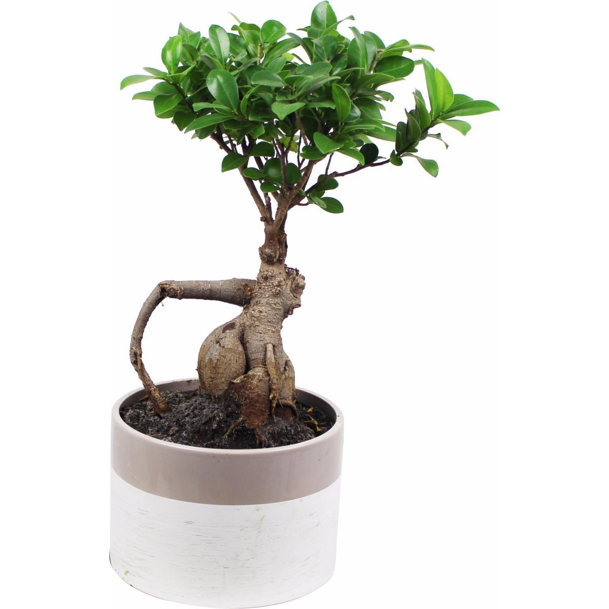 La fontaine fleurie bonsai ficus ginseng cleo - Bonsai ficus ginseng entretien ...