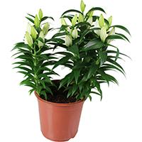 plantes vertes d 39 int rieur la fontaine fleurie. Black Bedroom Furniture Sets. Home Design Ideas