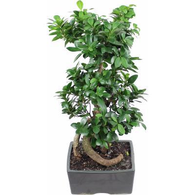la fontaine fleurie bonsai ficus ginseng maxim. Black Bedroom Furniture Sets. Home Design Ideas